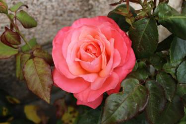 British Rose by wildirishrose7