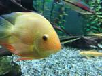 Yellow fish  by Jerebyt