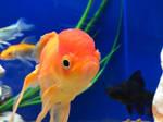 Sad goldfish  by Jerebyt