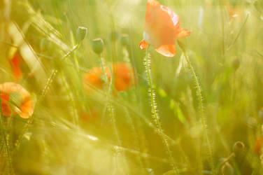 Dear Poppy by KissTheMagpie