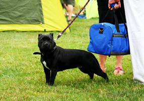 Staffordshire Bull Terrier by Czertice