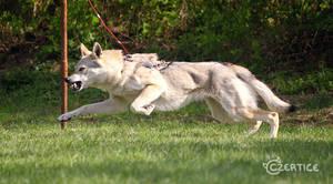 Daily Wolf Rhoderick Sodar by Czertice