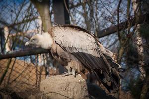 Griffon Vulture by Czertice