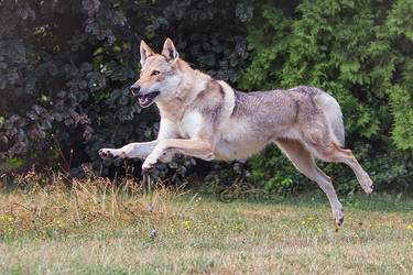 Wolfdogs Can Fly XXIV. by Czertice