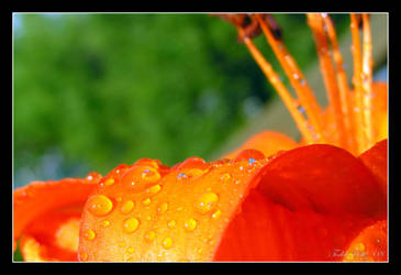 Asiatic Lily 2 by GUDsine