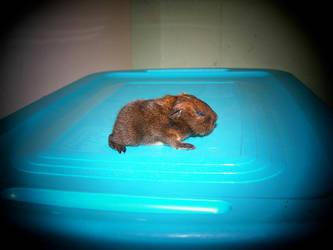 Guinea pig 1 by snotrocketgreenchick