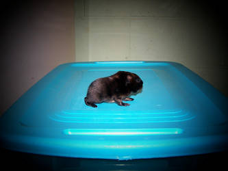 guinea pig 3 by snotrocketgreenchick