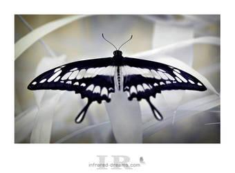 magic wings II by infrared-dreams
