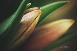 Tulips by CindysArt