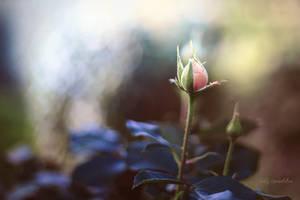 Rosebud by CindysArt