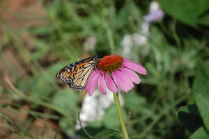 Monarch 1 by MarkFinn