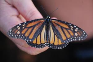 Monarch 2 by MarkFinn