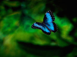 Morpho Butterfly by KillerPilze696