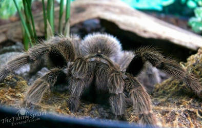 Grammostola Rosea by TheFunnySpider