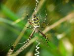 Wasp Spider - Argiope bruennichi in her web by TheFunnySpider