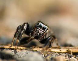 Gorilla Jumping Spider - Evarcha arcuata male by TheFunnySpider