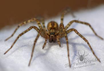 Rostrote Winkelspinne - Tegenaria ferruginea by TheFunnySpider