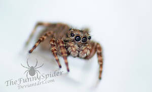 Female Jumping Spider - Unknown Species by TheFunnySpider