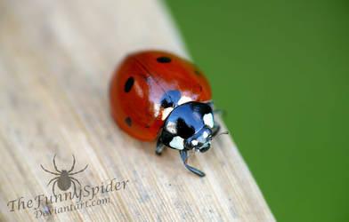 Ladybug - Coccinella septempunctata by TheFunnySpider
