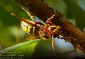 Hornet - Vespa crabro by TheFunnySpider
