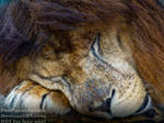 The Lion sleeps tonight by TheFunnySpider