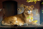 Beautiful african Lioness by TheFunnySpider