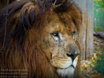 African male Lion by TheFunnySpider