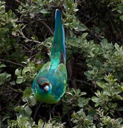 Australian Ringneck Parrot by RadishStick