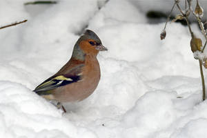 4719 Chaffinch in the snow by RealMantis
