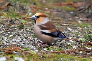 5774 Hawfinch / Big beak by RealMantis