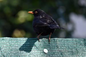 5626 Blackbird by RealMantis