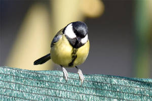 4733 Great Tit by RealMantis
