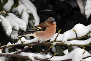 4785 Chaffinch in the snow by RealMantis