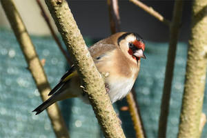 4778 Goldfinch by RealMantis
