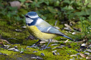 4676 Tit on the ground by RealMantis