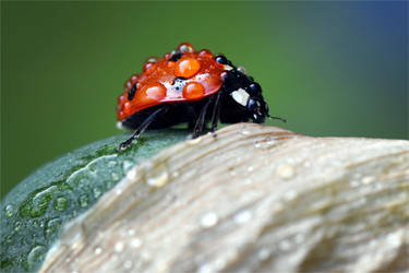 7144 It also rains on ladybugs by RealMantis