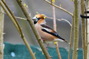 5872 Hawfinch / Big beak by RealMantis
