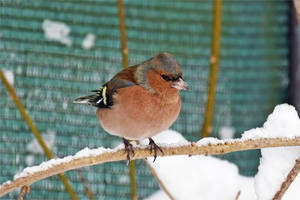 4839 Chaffinch in the snow by RealMantis