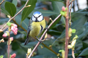 5573 Blue Tit on the tree branch by RealMantis