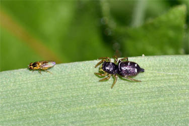 7013 Jumping spider and her prey by RealMantis