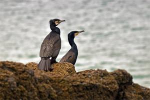 8510 Cormorants by RealMantis