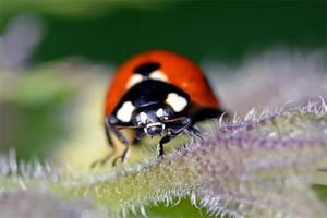 0478 Ladybug by RealMantis