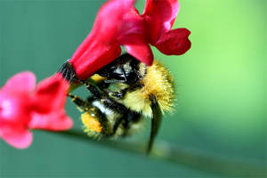 1760 Bumblebee on a red flower by RealMantis