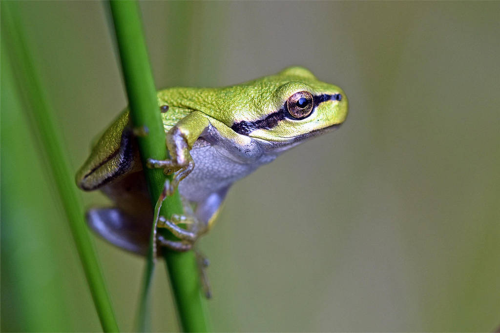 0967 Tree frog by RealMantis