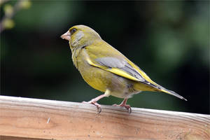 6743 Greenfinch by RealMantis