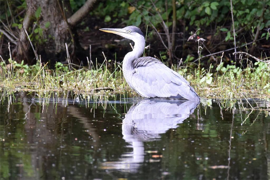 0228 Grey heron by RealMantis