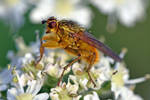 2490 Yellow Dung fly by RealMantis