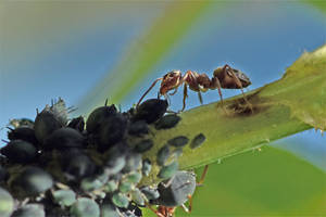 1427 Ant taking care of aphids by RealMantis