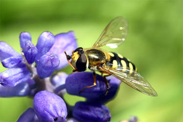 7385 Hoverfly by RealMantis