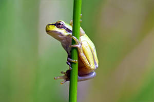 0974 Tree frog by RealMantis